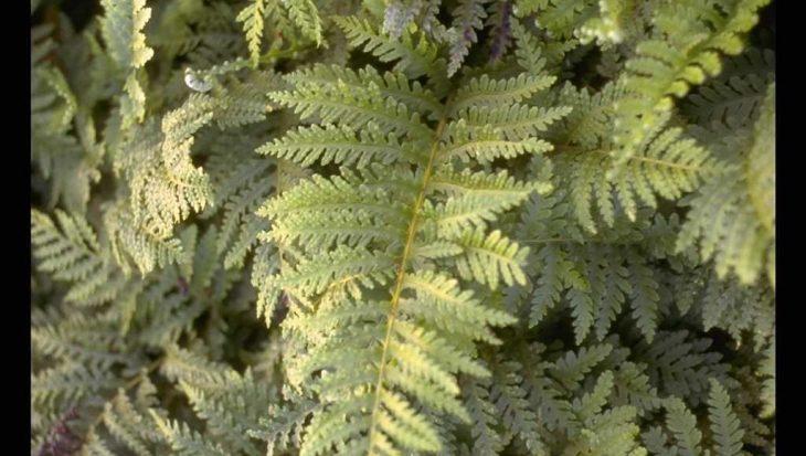 Polypodium interjectum 'Cornubiense'