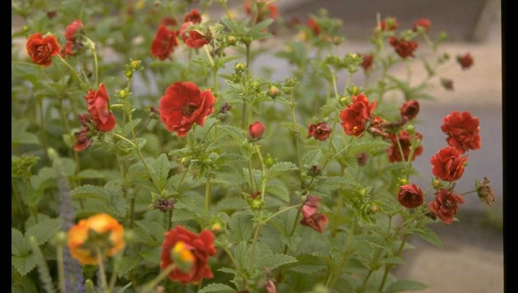 Potentilla 'Don Quichotte'