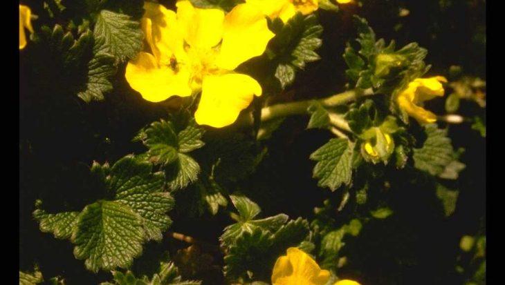 Potentilla fragiformis