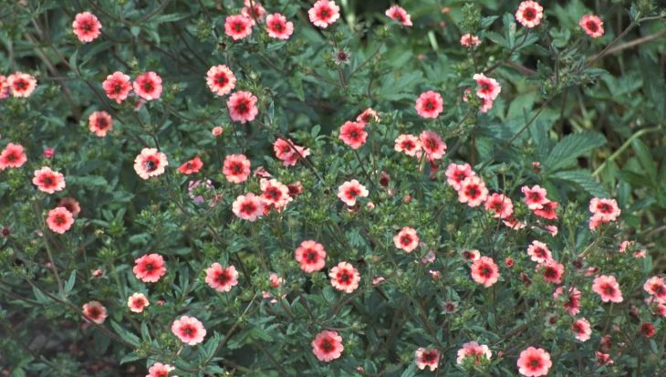 Potentilla nepalensis 'Miss Willmott'