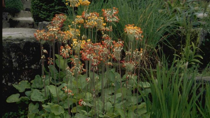 Primula florindae 'Rubra'