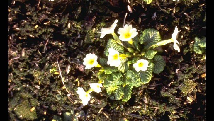Primula x margotae 'Helge'