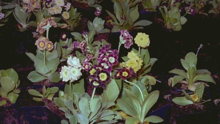 Primula x pubescens 'Monarch Strain'