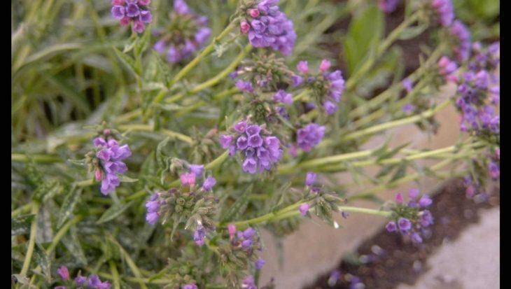 Pulmonaria longifolia 'E.B. Anderson'