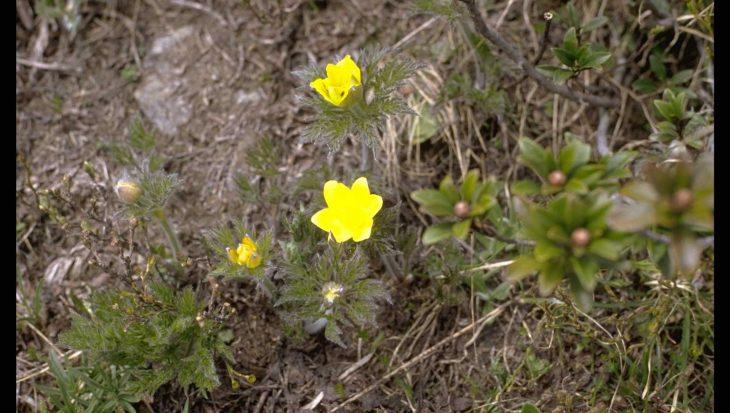 Pulsatilla alpina subsp. apiifolia