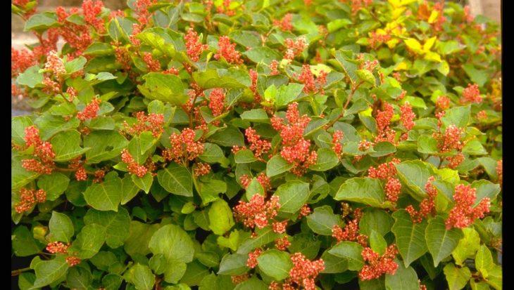 Fallopia japonica var. compacta
