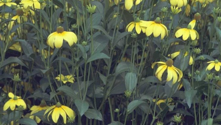Rudbeckia nitida 'Herbstsonne'