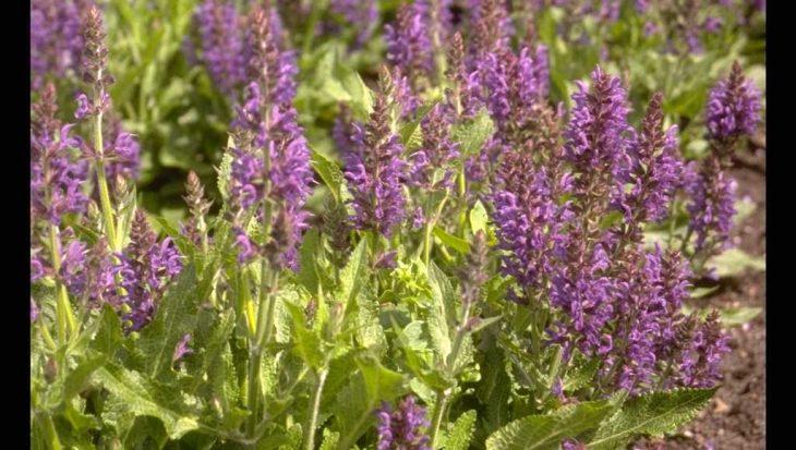 Salvia x sylvestris 'R?gen'