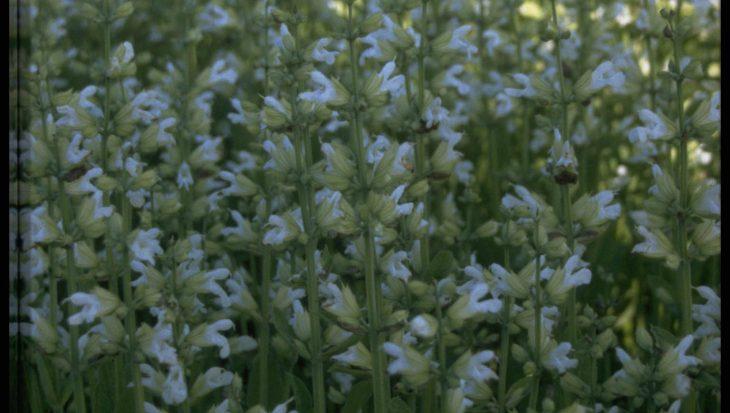 Salvia officinalis 'Albiflora'