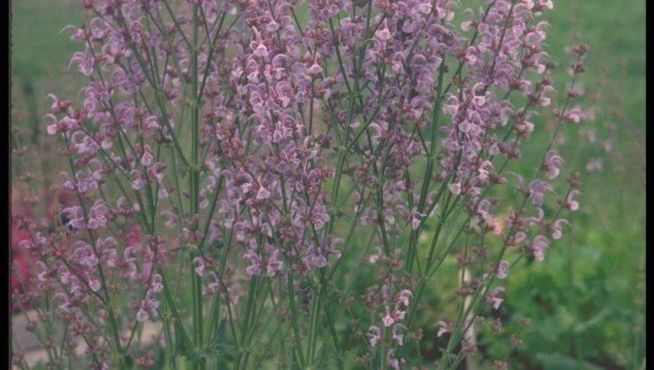 Salvia pratensis var. haematodes