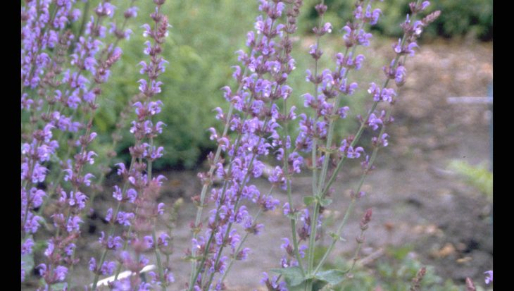 Salvia x sylvestris 'Lye End'