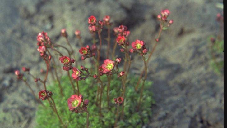 Saxifraga 'Farbenkissen'