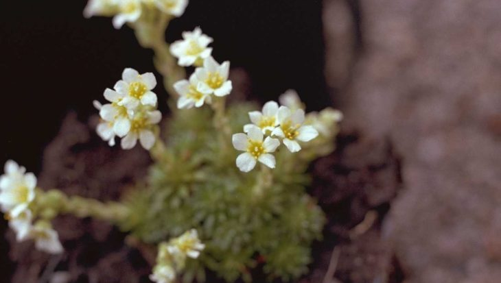 Saxifraga x apiculata 'Alba'