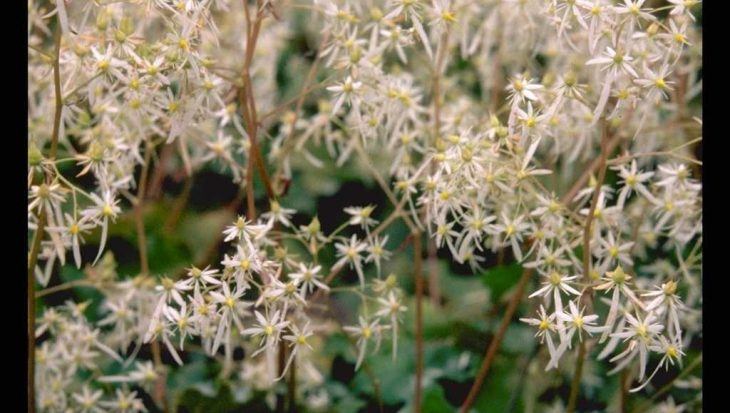 Saxifraga cortusifolia var. fortunei