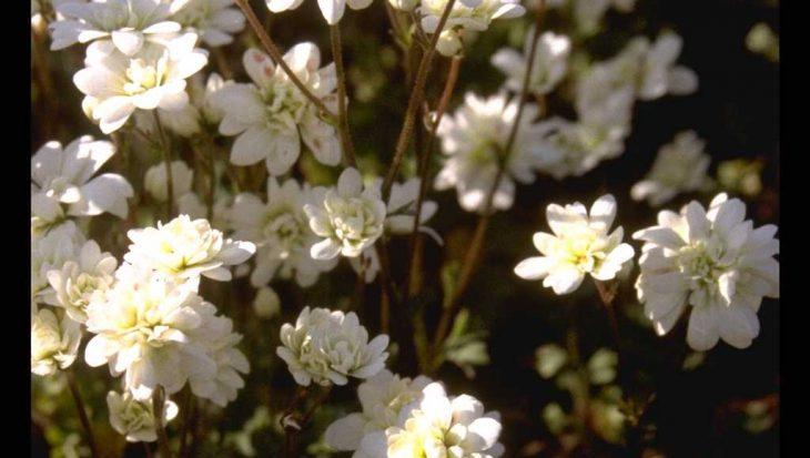 Saxifraga granulata 'Plena'