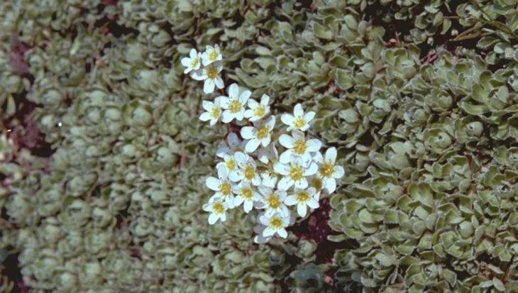Saxifraga paniculata var. brevifolia