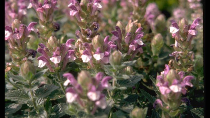 Scutellaria alpina 'Greencourt'