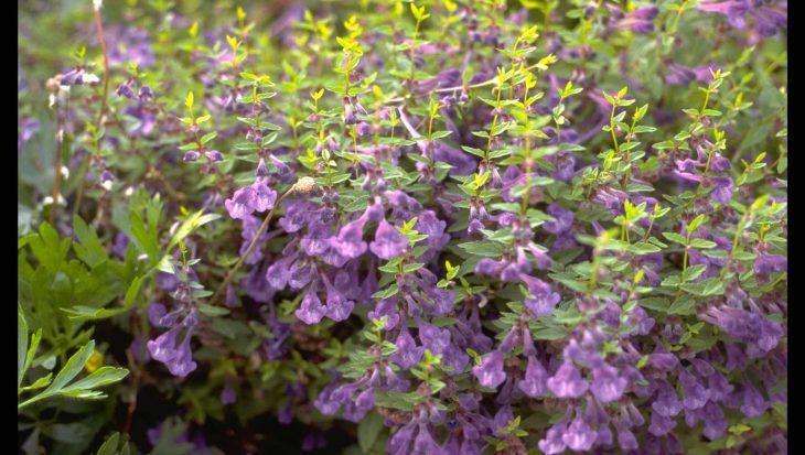 Scutellaria scordiifolia
