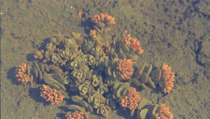 Sedum cyaneum 'Sachalin'