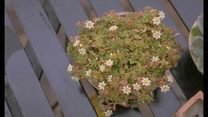 Rosularia sedoides var. alba