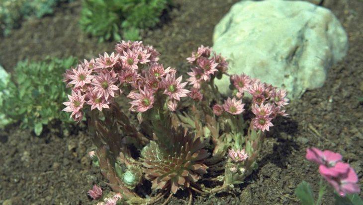 Sempervivum arachnoideum