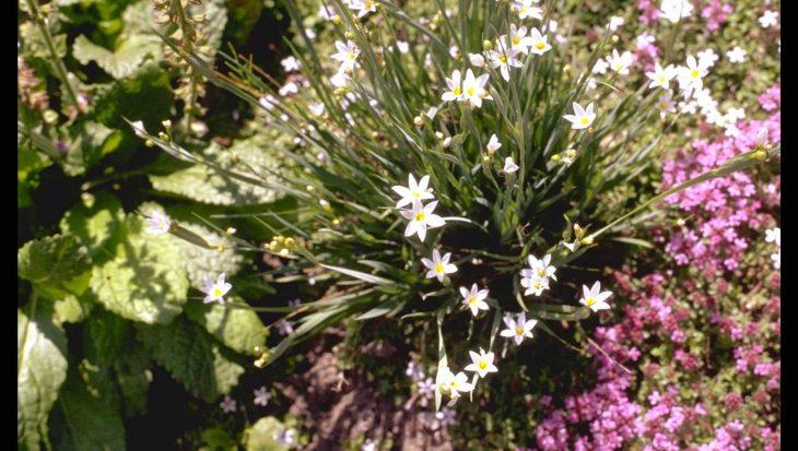 Sisyrinchium bermudianum 'Album'