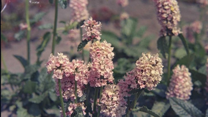 Stachys officinalis 'Rosea'