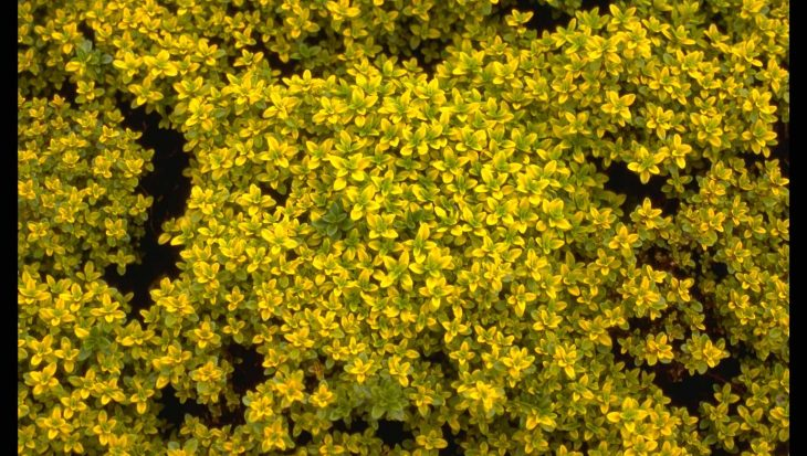 Thymus x citriodorus 'Bertram Anderson'