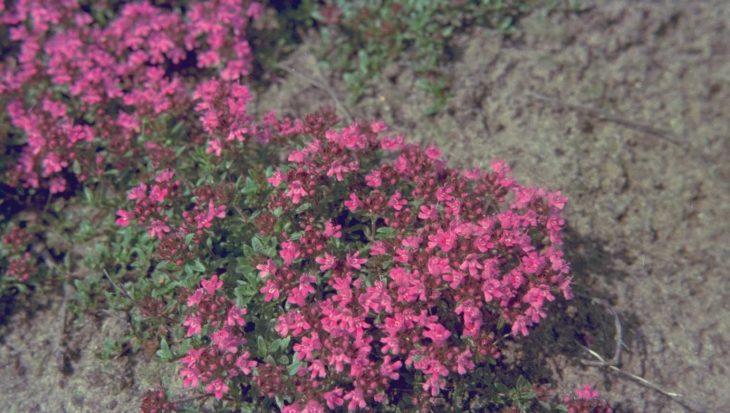 Thymus serpyllum var. coccineus