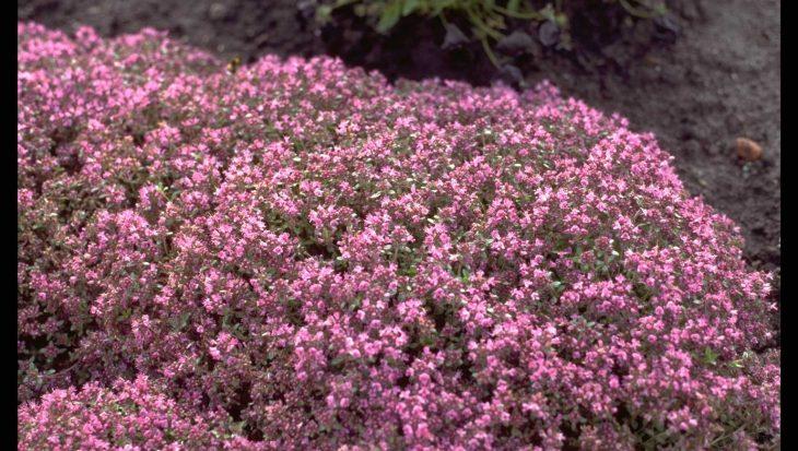 Thymus praecox 'Hall's Variety'