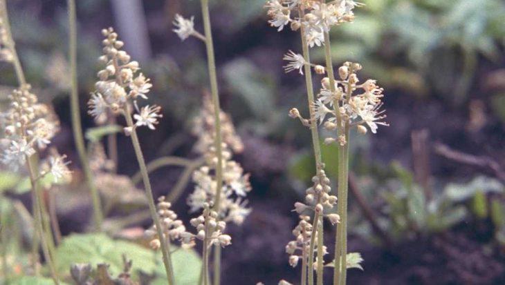 Tiarella cordifolia 'Moorgr?n'