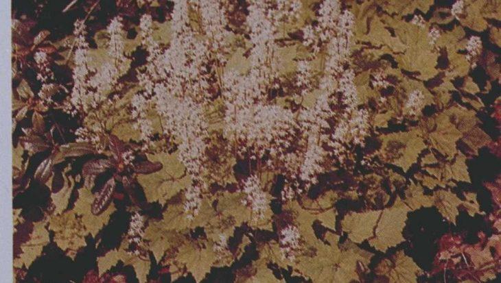 Tiarella polyphylla
