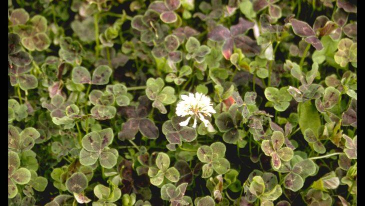 Trifolium repens 'Pentaphyllum'