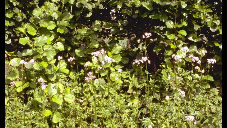 Valeriana officinalis 'Alba'