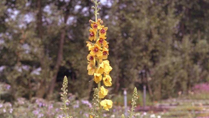 Verbascum densiflorum