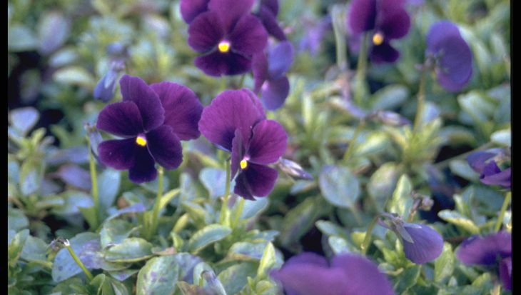 Viola 'Lord Nelson'