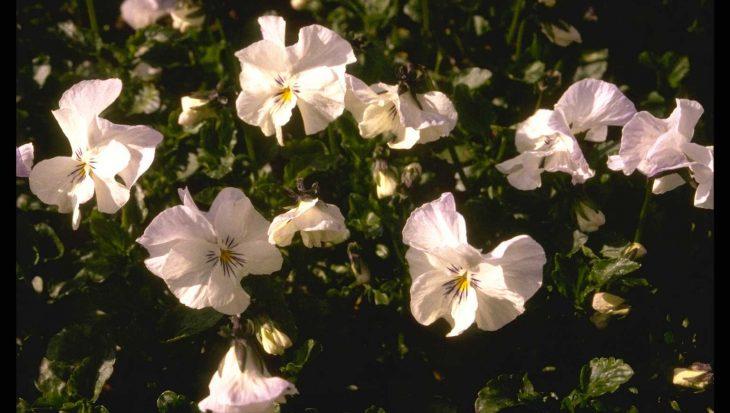 Viola 'White Superior'