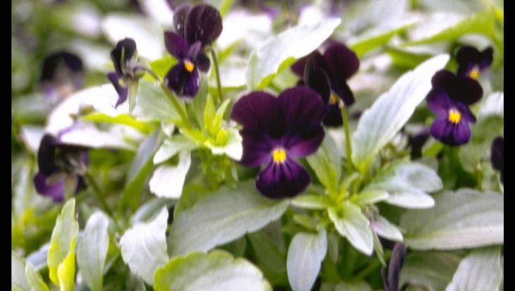 Viola tricolor 'Nigra'