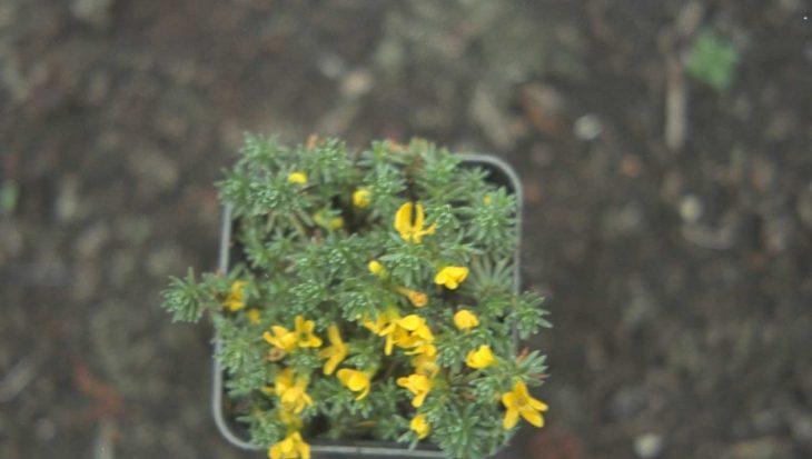 Vitaliana primuliflora subsp. praetutiana