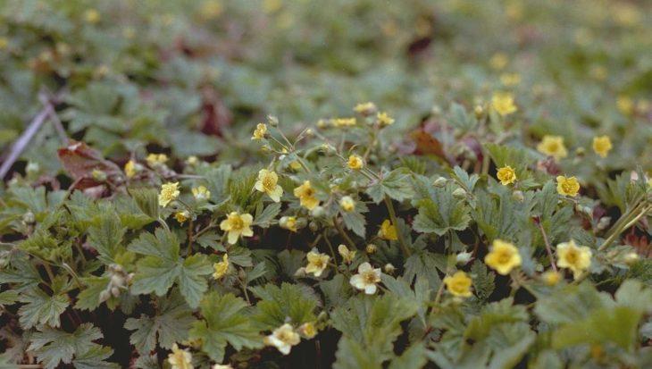 Waldsteinia geoides