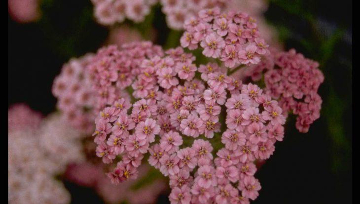 Achillea millefolium 'Maskerade'