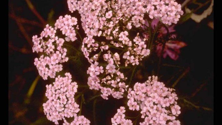 Achillea millefolium 'Natalie'
