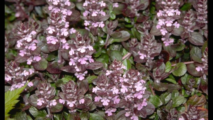 Ajuga reptans 'Pink Surprise'