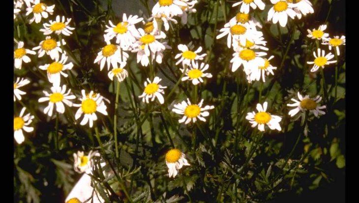 Anthemis x hybrida 'Sauce Hollandaise'