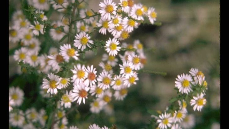 Aster falcatus 'White Heather'