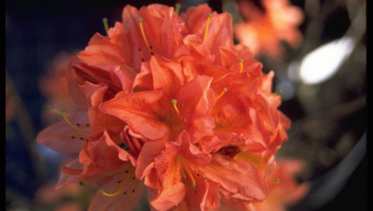 Rhododendron 'Mrs Peter Koster'