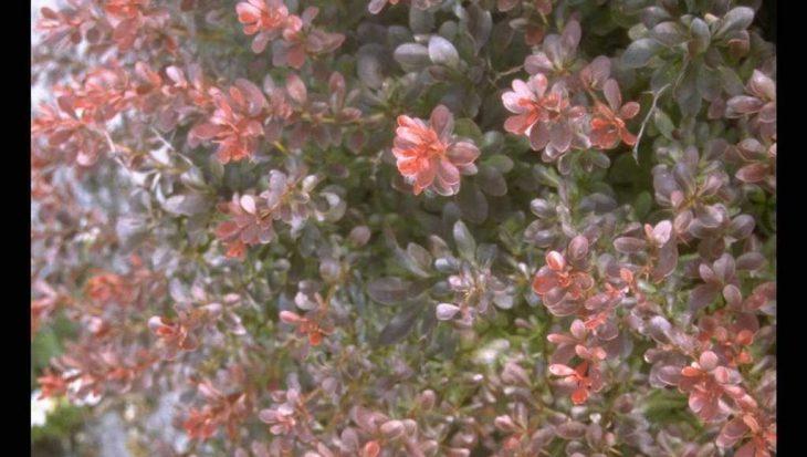 Berberis thunbergii 'Atropurpurea Nana'