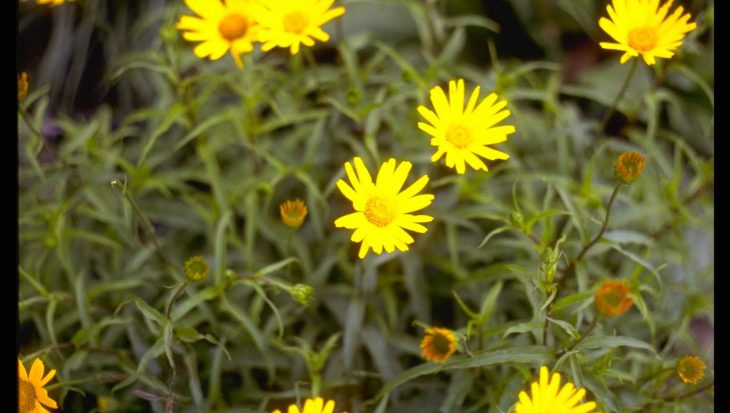 Buphthalmum salicifolium 'Dora'