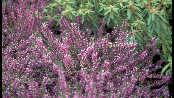 Calluna vulgaris 'Marleen'