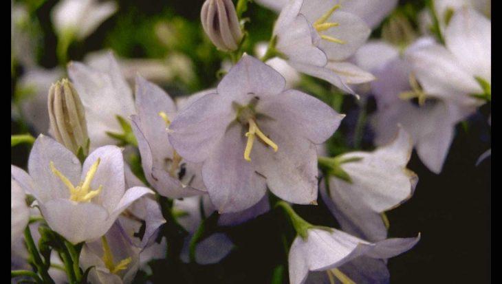 Campanula persicifolia var. planiflora